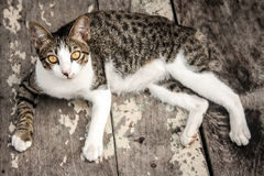 Portrait stray cat watching camera on wood floor Stock Photo