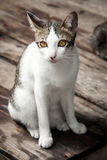 Portrait stray cat watching camera on wood floor Royalty Free Stock Photos