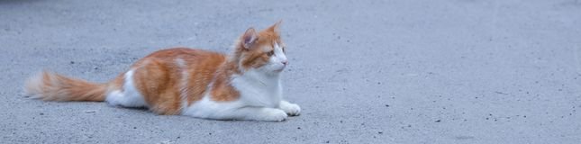 Portrait of a stray cat. White and red cat sitting alone on the road, a lot of space for text, copyspace. Red cat squinting.  Royalty Free Stock Photography