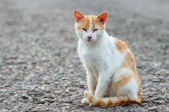 Portrait of a stray cat. White and red cat sitting alone on the road looking at the camera, a lot of space for text, copyspace. St. Reet cat watching. Sunset Stock Photography