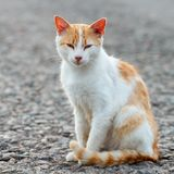Portrait of a stray cat. White and red cat sitting alone on the road looking at the camera, a lot of space for text, copyspace. St. Reet cat watching. Sunset Royalty Free Stock Photography