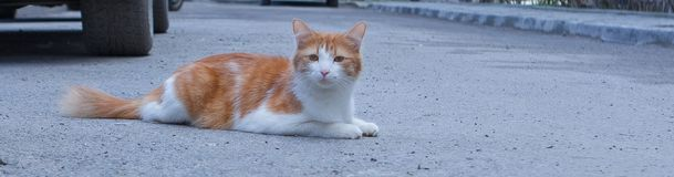 Portrait of a stray cat. White and red cat sitting alone on the road, a lot of space for text, copyspace. Red cat squinting.  Stock Images