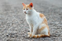 Portrait of a stray cat. White and red cat sitting alone on the road, a lot of space for text, copyspace. Red cat squinting.  Suns. Et, backlight Royalty Free Stock Photo