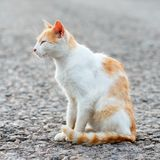 Portrait of a stray cat. White and red cat sitting alone on the road, a lot of space for text, copyspace. Red cat squinting.  Suns. Et, backlight Stock Image