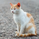 Portrait of a stray cat. White and red cat sitting alone on the. Road, a lot of space for text, copyspace. Red cat squinting.  Sunset, backlight Royalty Free Stock Photo