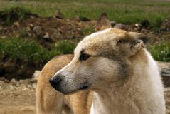 Portrait of a stray dog royalty free stock images