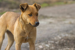 Portrait of stray female dog looking with stare Royalty Free Stock Images