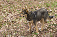 Portrait of stray female of wolfcolor dog at spring season waiting for cute male Royalty Free Stock Image
