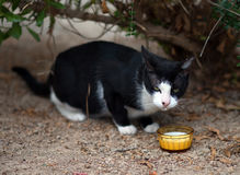 Portrait of stray feral cat. Stock Photography