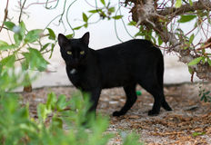 Portrait of stray feral cat. Royalty Free Stock Images