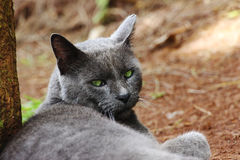 Portrait of a stray gray cat. Resting on the ground Royalty Free Stock Photos