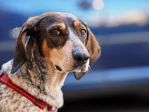 Portrait of street dog Royalty Free Stock Images