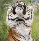 A Portrait of a Stretching Bengal Tiger Stock Image