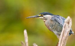 Portrait of a Striated Heron Royalty Free Stock Photo