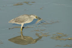 Portrait of a Striated Heron Stock Images