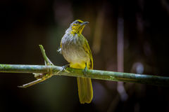 Portrait of Stripe-throated Bulbul Stock Photography