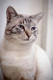 Portrait of a striped blue-eyed cat. Royalty Free Stock Photography