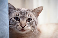 Portrait of a striped blue-eyed cat. Striped cat. Striped not purebred kitten. Small predator. Small cat Stock Photography