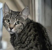 Portrait of a striped cat Royalty Free Stock Photos