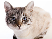 Portrait of a striped cat with blue eyes. Stock Photo