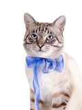 Portrait of a striped cat with a blue tape. Stock Photos
