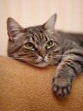 Portrait of a striped cat. Royalty Free Stock Images