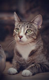 Portrait of a striped cat Royalty Free Stock Photo