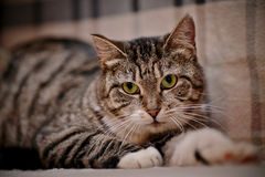 Portrait of a striped cat with green eyes. Stock Images