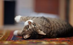 Portrait of the striped cat lying on a carpet. Stock Photo