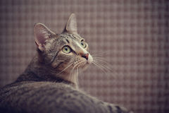 Portrait of a striped cat Royalty Free Stock Image