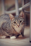 Portrait of a striped cat with white paws Royalty Free Stock Images