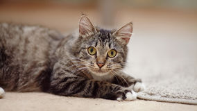 Portrait of a striped cat with yellow eyes Royalty Free Stock Images