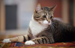 Portrait of the striped cat lying on a carpet. Stock Images
