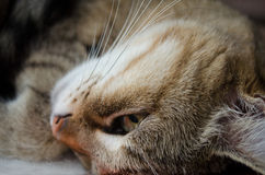Portrait of a striped domestic cat Royalty Free Stock Photos