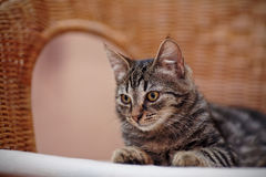 Portrait of a striped domestic kitten on a wicker chair Royalty Free Stock Image