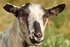 Portrait of striped goat Royalty Free Stock Images