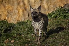 Portrait of Striped Hyena. royalty free stock photo