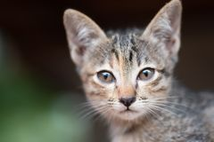 Striped kitten looking at camera. Portrait of striped kitten looking at camera, pet at home stock photography