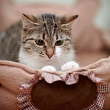 Portrait of a striped modest cat. Royalty Free Stock Photography