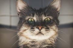 Portrait of a striped pedigreed beautiful young cat closeup. Portrait of a striped thoroughbred beautiful young cat on a light background close-up. Pedigreed stock photos