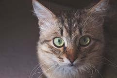 Portrait of a striped pedigreed beautiful young cat on a dark background closeup. Portrait of a striped thoroughbred beautiful young cat on a light background stock images
