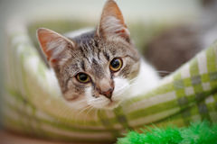 Portrait of the striped with white a cat. Stock Image