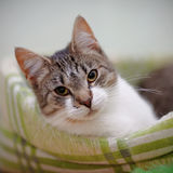 Portrait of the striped with white a cat. Royalty Free Stock Photos
