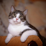 Portrait striped with white a cat on a sofa. Royalty Free Stock Photos