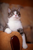 Portrait striped with white a cat on a sofa. Royalty Free Stock Photo