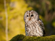 Portrait of Strix aluco - Tawny owl sitting on moss in forest Royalty Free Stock Images