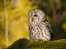 Portrait of tawny owl sitting on moss in forest - Strix Aluco. Portrait of Strix aluco - Ttawny owl sitting on moss in forest royalty free stock photos