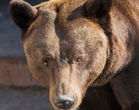 Portrait of strong brown bear Royalty Free Stock Photo