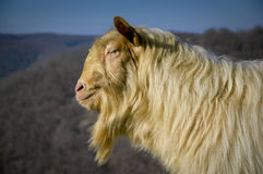 He is the man. Portrait of a strong male goat with long hair stock photos