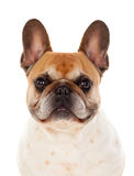 Portrait in Studio of a cute bulldog Stock Photography